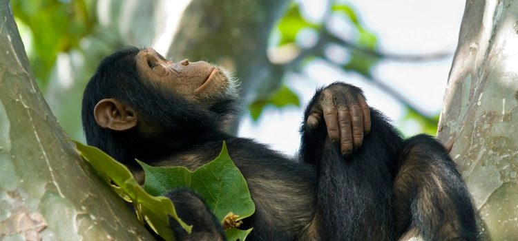 1 Day Kibale Forest Safari Uganda tour/ 1 day Uganda safari in Kibale National Park- Uganda Safari News
