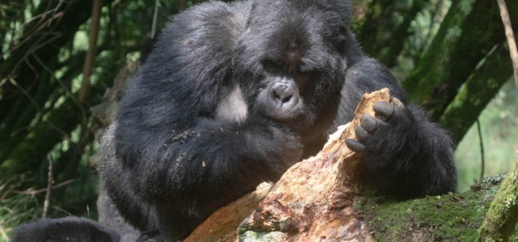 Have a magical Uganda tour experience with this 8 Days Uganda Gorilla Safari and Chimpanzees